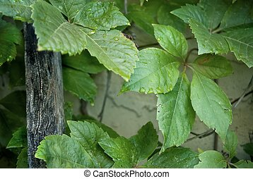 VIRGINIA CREEPER (Parthenocissus quinquefolia - Virginia...