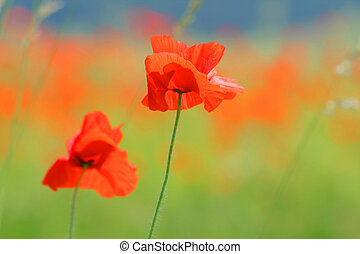 red poppy flowers - two red poppy flowers
