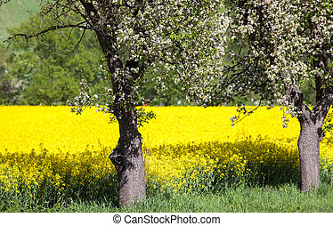 Cherry blossom and rapeseed field, Slovakia