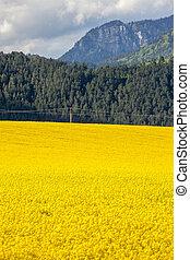 Rapeseed field, Slovakia