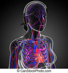 hembra, corazón, circulatorio,