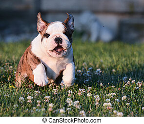 puppy running in the grass - english bulldog