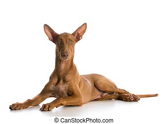 pharaoh hound laying down looking at viewer on white...