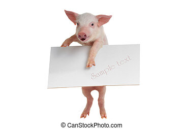 pig with sheet for a text writing