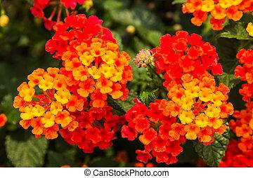 hermoso, colorido, seto, flor, Llorar, lantana,