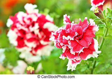 Petunia flowers in garden, close up view