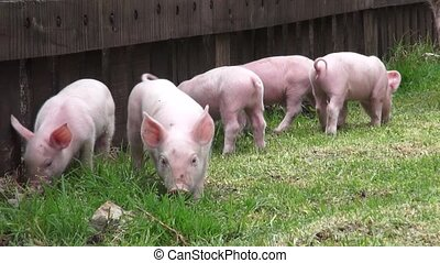 Pigs, Piglets, Hogs, Farm Animals