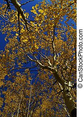 Gold Plated - Changing aspen