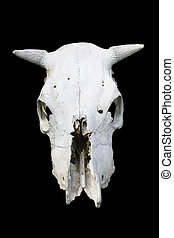 Cow Skull - Cow skull isolated on black background with...
