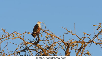 african fish eagle standing tree - african eagle looking for...