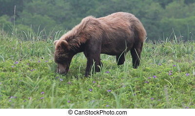 Wild brown bear in the tundra. summer