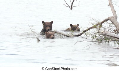 cub floating - bears cub floating on the lake