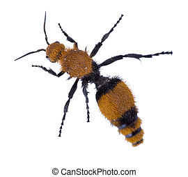 Wasps Without Wings - a Velvet Ant, the Cow Killer. Top view...