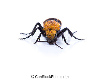 Wasps Without Wings - a Velvet Ant, the Cow Killer. Front...