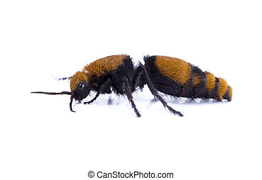 Wasps Without Wings - a Velvet Ant, the Cow Killer. Side...