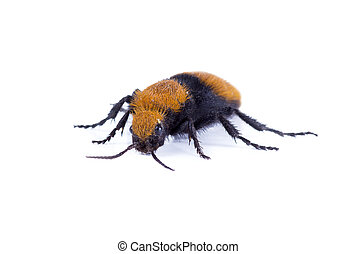 Wasps Without Wings - a Velvet Ant, the Cow Killer. Isolated...