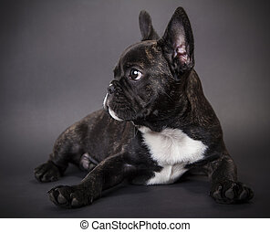 small dog french bulldog on a dark background
