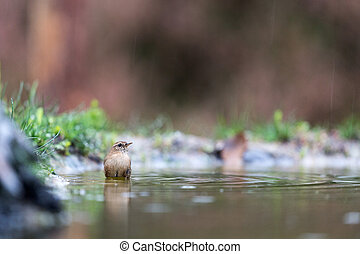 common chiffchaff taking bath in rain