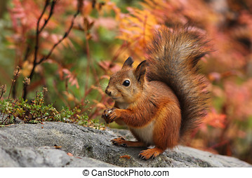 Cute red squirrel in autumn forest natural scenery