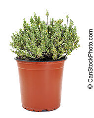 common thyme - a common thyme plant in a flowerpot on a...