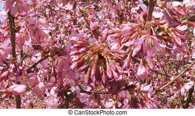 Prunus 'Okame' cherry blossoms - full screen - Prunus...