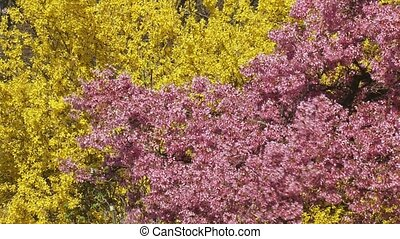 Cherry blossoms pink and Forsythia yellow - Prunus Okame...
