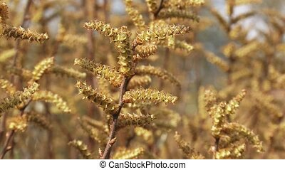 Catkins Bog Myrtle, Sweet Gale (Myrica gale) close up -...