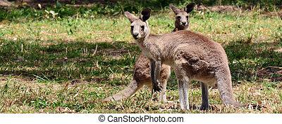 Two Eastern grey kangaroo on alert