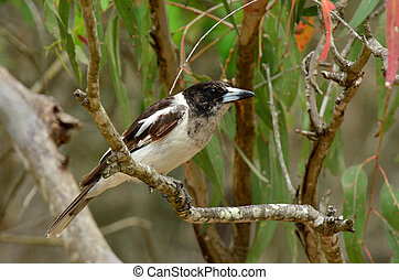 Pied butcherbird female sit on a tree branch in Coombabah...