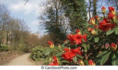 rhododendron Elisabeth pan - rhododendron Elisabeth in...