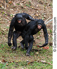 Males bonobo mating - Two males bonobo mating Democratic...