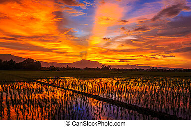 Young rice field against reflected sunset sky