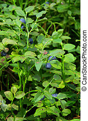 blueberry plant 07