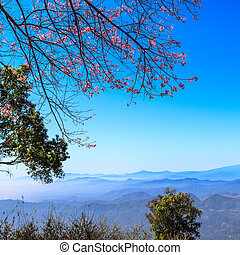 Beautiful cherry blossom against blue sky, Chiang Mai,...