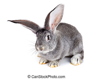 Grey rabbit on white background - Young domestic grey rabbit...