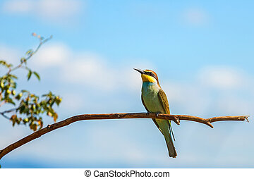 European bee-eater (Merops apiaster) on branch