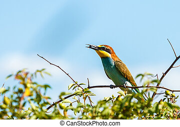 European bee-eater (Merops apiaster) on bush, holding bee