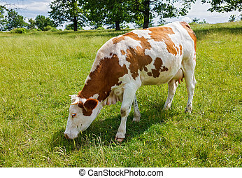 Piebald cow grazing on the field - Piebald cow grazing on...