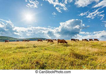 Kühe, Feld, Sonnig, weiden, herde