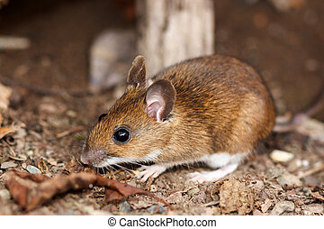 White footed mouse in spring - White footed mouse...