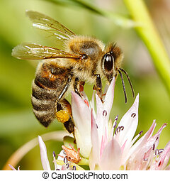 Macro of honey bee on flower - Macro of honey bee carrying...