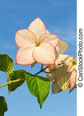 Pink  Dona Luz ( Queen Sirikit ) Flower with sky background