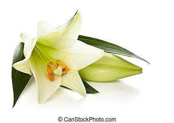 White lily. - Closeup shot of white lily isolated on white...
