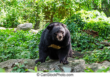 Asiatic Black Bear in the wild - Asiatic Black Bear (Tibetan...