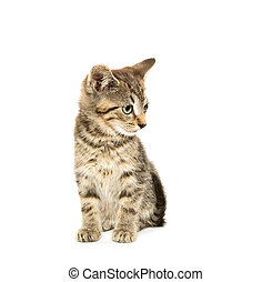 Cute tabby kiten - Cute short hair baby tabby kitten on...