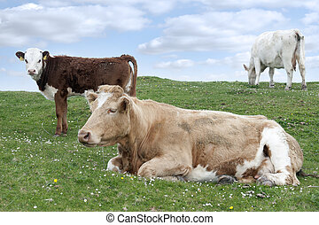 Irish cattle feeding on the lush green grass - cattle...