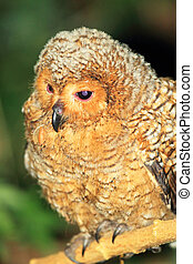 Spotted Wood Owl Strix seloputo in Palawan Island,...