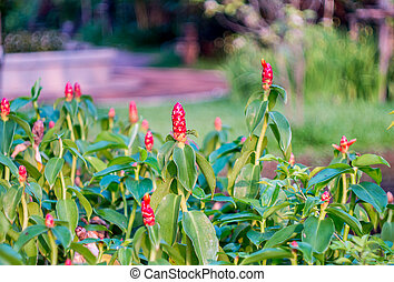 Indian head ginger flower - Indian head ginger,Costus...