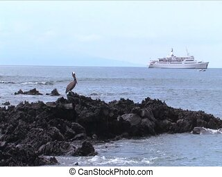 Pelican on lave rocks with shop in background, Galapagos...