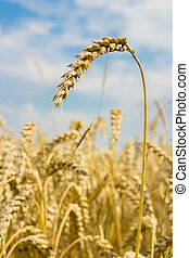spikelet of wheat in a field